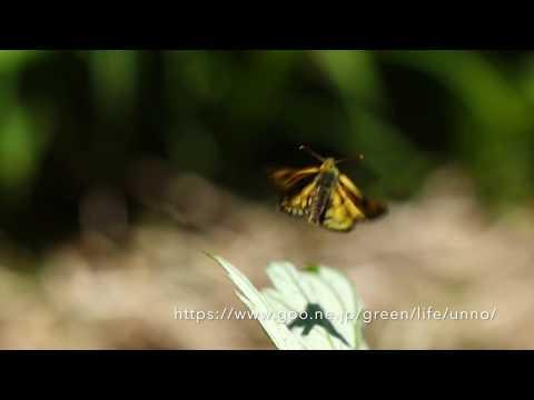 カラフトタカネキマダラセセリの飛翔 Carterocephalus sylvicola