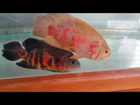 Video Ikan Oscar baru datang