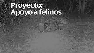 Fundación Iberdrola México - Apoyo a felinos