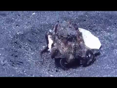 Chilocaloria sognata con vermi bianchi