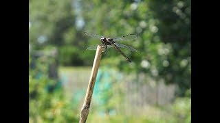 Dragonflies In The Garden: Natures Mosquito Control