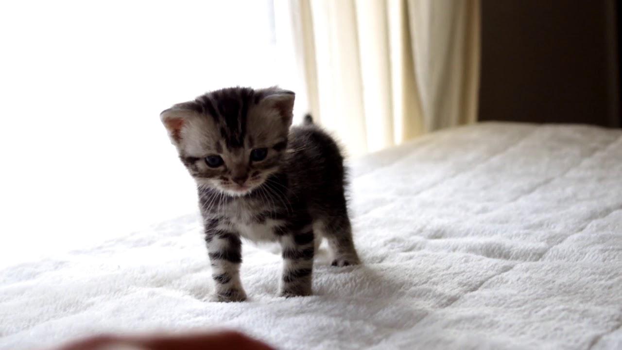 アメリカンショートヘアー オス 仔猫