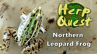Northern Leopard Frog - Herp Quest #6 (Herpetology Education)