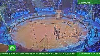 НТВ: Запашные рассказали о схватке тигра и льва в московском цирке