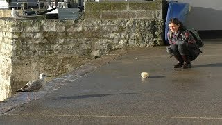 video: Staring at seagulls is best way to stop them stealing your chips