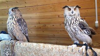 Eagle Owl Yoll visiting the Eagle owl Varvara. TwoSOVochka!