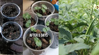 How to Grow Okra from seeds is so easy Episode 01