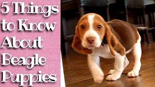 Things To Know About Beagle Puppies