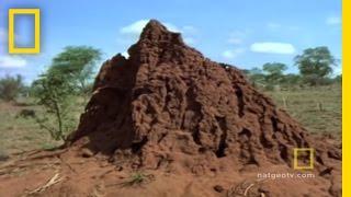 Termite - The Termite Queen