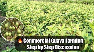 Commercial Guava Farming In India.(amrood Ki Kheti Main Kitna Fayda Hota Hai)