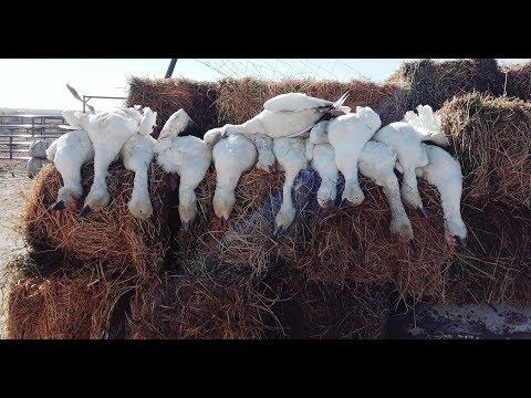 jump-shooting-snow-geese