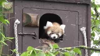 preview picture of video 'International Red Panda Weekend at Paradise Wildlife Park 2013'