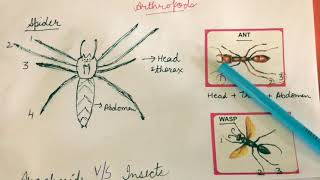 Spider Is Not An Insect- Learn about Arthropods and Arachnids