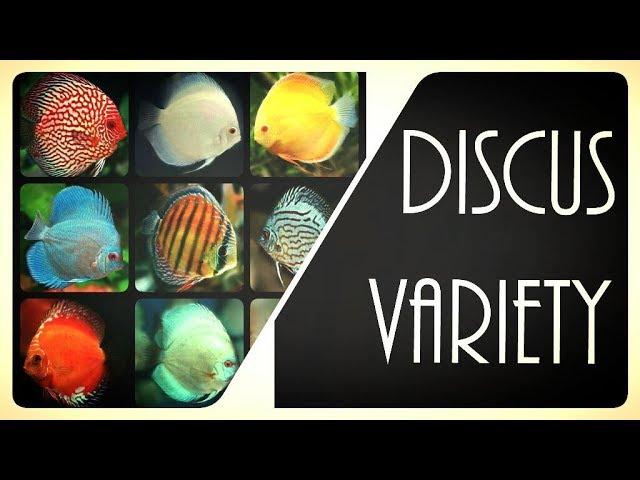 THE BEST DISCUS FISH VARIETIES - Types of Discus Fish for your Freshwater Aquarium