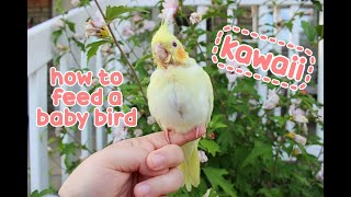 🐤 How to Feed a Baby Bird - the Basics - Juvenile Cockatiel 🍼