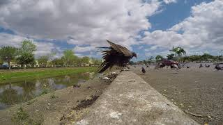 Urban Wildlife: Vulture kicks over camera