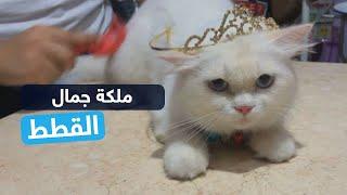 هذه القطة توجت ملكة جمال القطط لهذا السبب