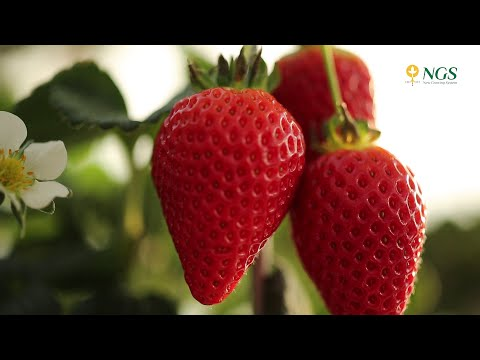 Strawberries in Portugal in NGS system - English
