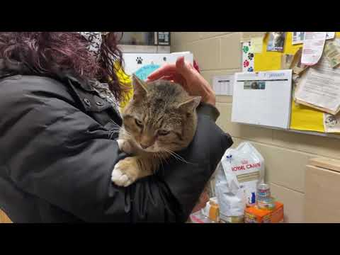 Louie Sweet FIV Boy   Foster Care, an adopted Domestic Short Hair in Clifton, NJ_image-1