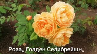 Розы первогодки Леди Гамильтон, Голден Селибрейшн, Валертон Олд Холл, Керио, Чайна Гёл.