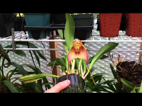 ORCHID CARE: DRACULA ORCHID TOUR AND TIPS TO REBLOOM