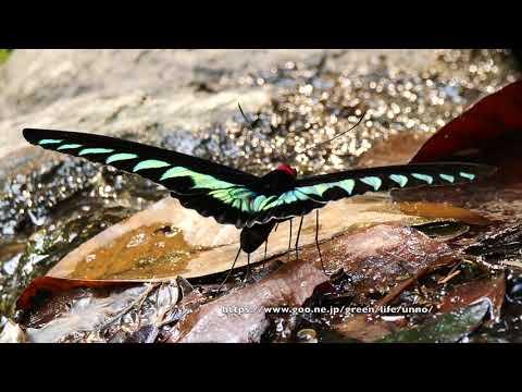 アカエリトリバネアゲハの吸水 Trogonoptera  brookiana