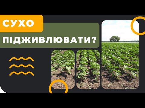 СУХО. Подкормка подсолнечника в засуху