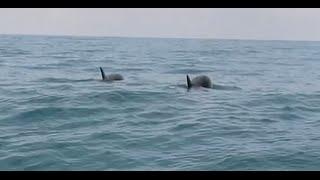Дельфины в Сочи у берега