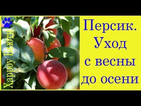 Персик. Уход с весны до осени. Полив. Подкормка. Монилиоз. Мучнистая роса. Курчавость листьев .