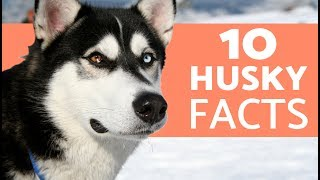 10 Things You Didn't Know About the Siberian Husky