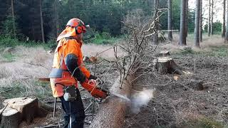 Quick Felling And Branching Of The Tree With A Chainsaw With A Great Lumberjack!