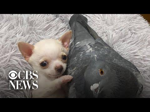 De chihuahua en de duif