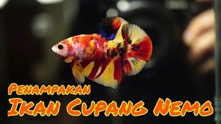 Download 96 Gambar Ikan Cupang Nemo HD Terbaru