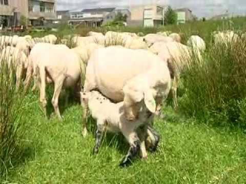 Herder Bouke en zijn schapen