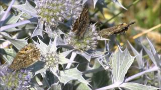 preview picture of video 'Grayling Butterfly Hipparchia semele'