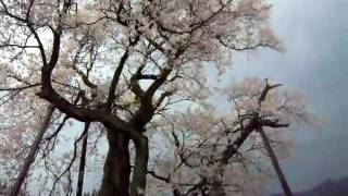 犬と旅行ペットと観光山形県桜回路