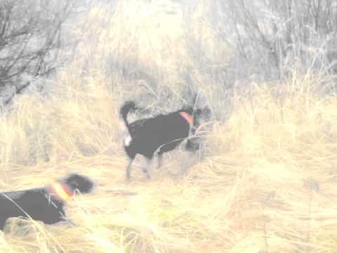 Tā mans sunīts vilka sivēnus no meža laukā!