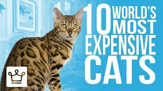 Top 10 Most Expensive Cat Breeds In The World