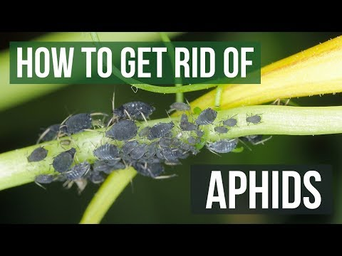 , title : 'How to Get Rid of Aphids Guaranteed (4 Easy Steps)