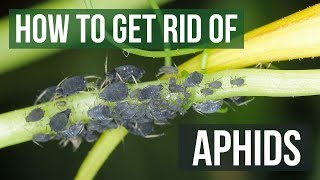 How to Get Rid of Aphids Guaranteed (4 Easy Steps)