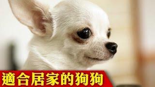 12種適合居家的狗狗排行,每一種都超古錐的啦