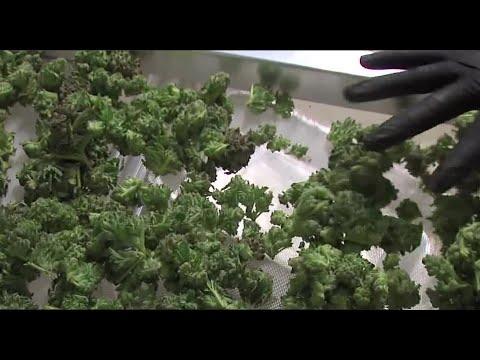 Marijuana revenue passes $500 million in Colorado