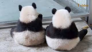 Cute and Funny Panda Daily Life