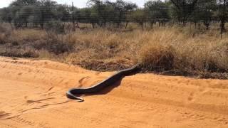 Huge Python seen in Lephalale