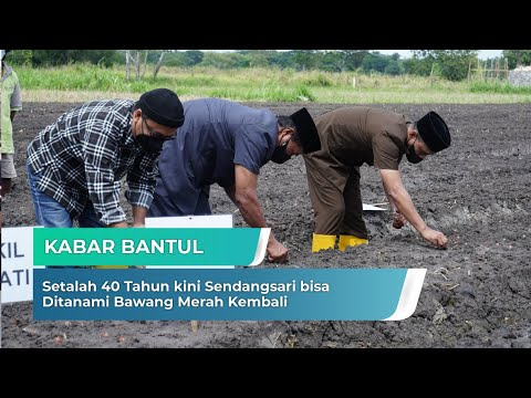 Setalah 40 Tahun kini Sendangsari bisa Ditanami Bawang Merah Kembali | Kabar Bantul