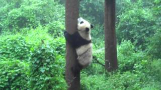 Video : China : Tree-climbing Panda - video