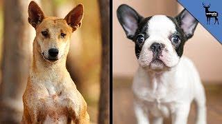 Dingo - Origin and Classification