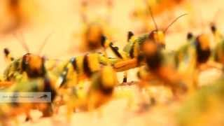 Young Locust ארבה תוצרת הארץ