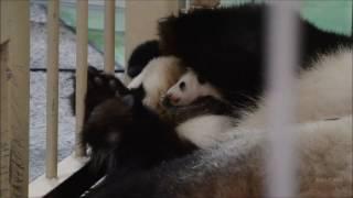 【生後1ヶ月♪】🐼パンダの赤ちゃん♥だいじに抱っこする良浜ママに感動♪【一般公開中】 Happy New Panda Baby!!