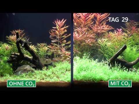 Pflanzenaquarium mit und ohne CO2 im Zeitraffer